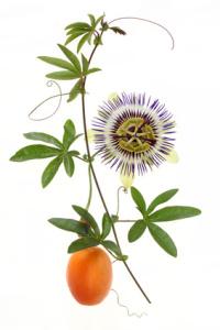frucht des monats april passionsfrucht erdbeergr n. Black Bedroom Furniture Sets. Home Design Ideas